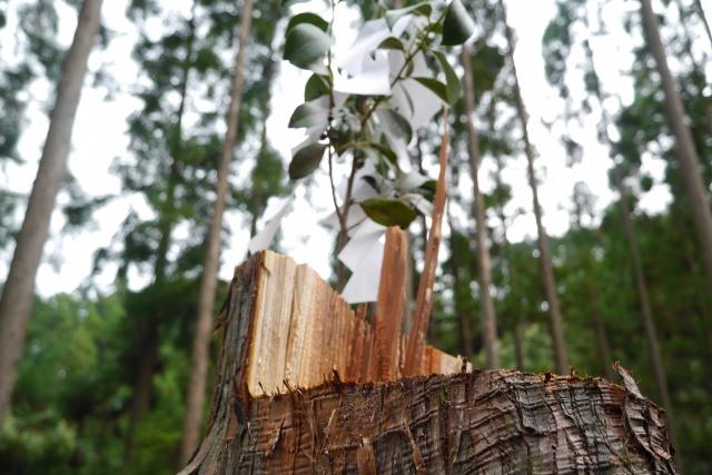 高知県梼原町森林組合の森で切ったばかりの杉の木の切り口 工務店ソーラーコム撮影